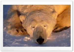 Polar Bear Sleeping HD Wide Wallpaper for 4K UHD Widescreen desktop & smartphone