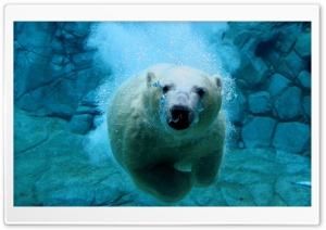 Polar Bear Swimming HD Wide Wallpaper for Widescreen