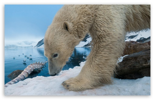Polar Bear With Whale Bone HD wallpaper for Wide 16:10 5:3 Widescreen WHXGA WQXGA WUXGA WXGA WGA ; HD 16:9 High Definition WQHD QWXGA 1080p 900p 720p QHD nHD ; Standard 4:3 5:4 3:2 Fullscreen UXGA XGA SVGA QSXGA SXGA DVGA HVGA HQVGA devices ( Apple PowerBook G4 iPhone 4 3G 3GS iPod Touch ) ; Tablet 1:1 ; iPad 1/2/Mini ; Mobile 4:3 5:3 3:2 16:9 5:4 - UXGA XGA SVGA WGA DVGA HVGA HQVGA devices ( Apple PowerBook G4 iPhone 4 3G 3GS iPod Touch ) WQHD QWXGA 1080p 900p 720p QHD nHD QSXGA SXGA ;
