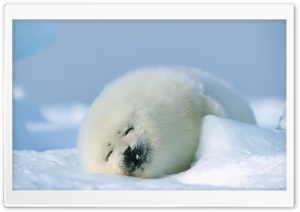 Polar Seal HD Wide Wallpaper for Widescreen