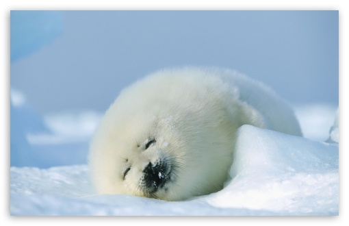 Polar Seal HD wallpaper for Standard 4:3 5:4 Fullscreen UXGA XGA SVGA QSXGA SXGA ; Wide 16:10 5:3 Widescreen WHXGA WQXGA WUXGA WXGA WGA ; HD 16:9 High Definition WQHD QWXGA 1080p 900p 720p QHD nHD ; Other 3:2 DVGA HVGA HQVGA devices ( Apple PowerBook G4 iPhone 4 3G 3GS iPod Touch ) ; Mobile VGA WVGA iPhone iPad PSP Phone - VGA QVGA Smartphone ( PocketPC GPS iPod Zune BlackBerry HTC Samsung LG Nokia Eten Asus ) WVGA WQVGA Smartphone ( HTC Samsung Sony Ericsson LG Vertu MIO ) HVGA Smartphone ( Apple iPhone iPod BlackBerry HTC Samsung Nokia ) Sony PSP Zune HD Zen ; Tablet 2 ;