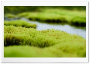 Polytrichum Moss HD Wide Wallpaper for Widescreen