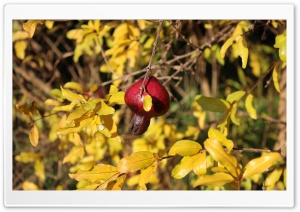 Pomegranate HD Wide Wallpaper for Widescreen