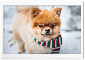 Pomeranian Dog, Outdoor, Winter HD Wide Wallpaper for Widescreen