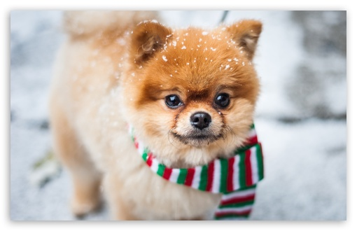 Pomeranian Dog, Outdoor, Winter ❤ 4K UHD Wallpaper for Wide 16:10 5:3 Widescreen WHXGA WQXGA WUXGA WXGA WGA ; UltraWide 21:9 ; 4K UHD 16:9 Ultra High Definition 2160p 1440p 1080p 900p 720p ; Standard 4:3 5:4 3:2 Fullscreen UXGA XGA SVGA QSXGA SXGA DVGA HVGA HQVGA ( Apple PowerBook G4 iPhone 4 3G 3GS iPod Touch ) ; Smartphone 16:9 3:2 5:3 2160p 1440p 1080p 900p 720p DVGA HVGA HQVGA ( Apple PowerBook G4 iPhone 4 3G 3GS iPod Touch ) WGA ; Tablet 1:1 ; iPad 1/2/Mini ; Mobile 4:3 5:3 3:2 16:9 5:4 - UXGA XGA SVGA WGA DVGA HVGA HQVGA ( Apple PowerBook G4 iPhone 4 3G 3GS iPod Touch ) 2160p 1440p 1080p 900p 720p QSXGA SXGA ;