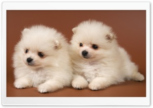 Pomeranian Puppies HD Wide Wallpaper for Widescreen