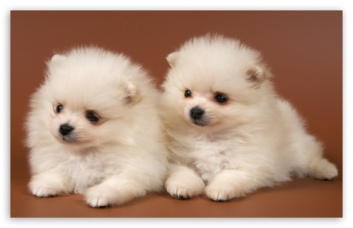 Pomeranian Puppies HD wallpaper for Wide 16:10 5:3 Widescreen WHXGA WQXGA WUXGA WXGA WGA ; HD 16:9 High Definition WQHD QWXGA 1080p 900p 720p QHD nHD ; Standard 3:2 Fullscreen DVGA HVGA HQVGA devices ( Apple PowerBook G4 iPhone 4 3G 3GS iPod Touch ) ; Mobile 5:3 3:2 16:9 - WGA DVGA HVGA HQVGA devices ( Apple PowerBook G4 iPhone 4 3G 3GS iPod Touch ) WQHD QWXGA 1080p 900p 720p QHD nHD ;