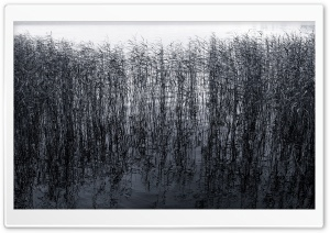 Pond Reeds HD Wide Wallpaper for Widescreen