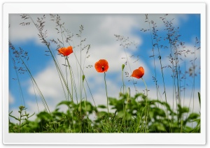 Poppies HD Wide Wallpaper for Widescreen