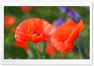 Poppies HD Wide Wallpaper for 4K UHD Widescreen desktop & smartphone