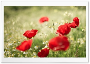 Poppies and Chamomile HD Wide Wallpaper for Widescreen