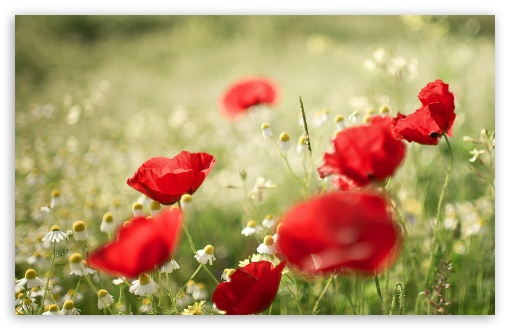 Poppies and Chamomile ❤ 4K UHD Wallpaper for Wide 16:10 5:3 Widescreen WHXGA WQXGA WUXGA WXGA WGA ; 4K UHD 16:9 Ultra High Definition 2160p 1440p 1080p 900p 720p ; Standard 4:3 5:4 3:2 Fullscreen UXGA XGA SVGA QSXGA SXGA DVGA HVGA HQVGA ( Apple PowerBook G4 iPhone 4 3G 3GS iPod Touch ) ; Tablet 1:1 ; iPad 1/2/Mini ; Mobile 4:3 5:3 3:2 16:9 5:4 - UXGA XGA SVGA WGA DVGA HVGA HQVGA ( Apple PowerBook G4 iPhone 4 3G 3GS iPod Touch ) 2160p 1440p 1080p 900p 720p QSXGA SXGA ;