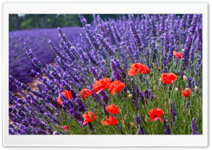 Poppies And Lavenders HD Wide Wallpaper for Widescreen