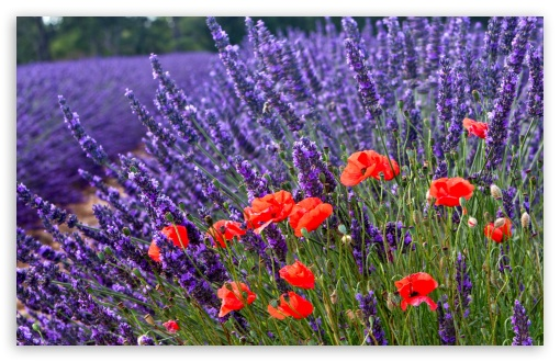 Poppies And Lavenders ❤ 4K UHD Wallpaper for Wide 16:10 5:3 Widescreen WHXGA WQXGA WUXGA WXGA WGA ; 4K UHD 16:9 Ultra High Definition 2160p 1440p 1080p 900p 720p ; Standard 4:3 5:4 3:2 Fullscreen UXGA XGA SVGA QSXGA SXGA DVGA HVGA HQVGA ( Apple PowerBook G4 iPhone 4 3G 3GS iPod Touch ) ; Tablet 1:1 ; iPad 1/2/Mini ; Mobile 4:3 5:3 3:2 16:9 5:4 - UXGA XGA SVGA WGA DVGA HVGA HQVGA ( Apple PowerBook G4 iPhone 4 3G 3GS iPod Touch ) 2160p 1440p 1080p 900p 720p QSXGA SXGA ;
