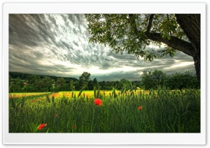 Poppies And Spikelets HD Wide Wallpaper for Widescreen