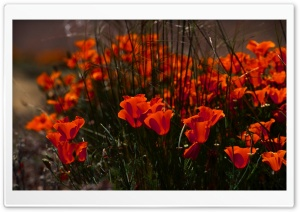 Poppies Buds HD Wide Wallpaper for Widescreen