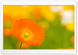 Poppies Closeup HD Wide Wallpaper for Widescreen