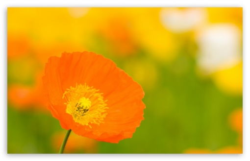 Poppies Closeup ❤ 4K UHD Wallpaper for Wide 16:10 5:3 Widescreen WHXGA WQXGA WUXGA WXGA WGA ; 4K UHD 16:9 Ultra High Definition 2160p 1440p 1080p 900p 720p ; Standard 4:3 5:4 3:2 Fullscreen UXGA XGA SVGA QSXGA SXGA DVGA HVGA HQVGA ( Apple PowerBook G4 iPhone 4 3G 3GS iPod Touch ) ; Smartphone 16:9 3:2 5:3 2160p 1440p 1080p 900p 720p DVGA HVGA HQVGA ( Apple PowerBook G4 iPhone 4 3G 3GS iPod Touch ) WGA ; Tablet 1:1 ; iPad 1/2/Mini ; Mobile 4:3 5:3 3:2 16:9 5:4 - UXGA XGA SVGA WGA DVGA HVGA HQVGA ( Apple PowerBook G4 iPhone 4 3G 3GS iPod Touch ) 2160p 1440p 1080p 900p 720p QSXGA SXGA ;