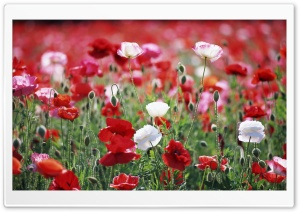 Poppies Field HD Wide Wallpaper for Widescreen