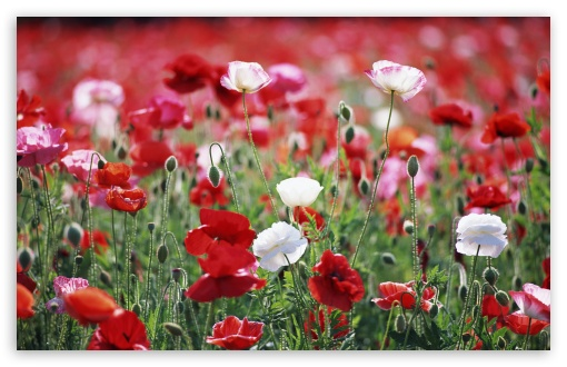 Poppies Field HD wallpaper for Wide 16:10 5:3 Widescreen WHXGA WQXGA WUXGA WXGA WGA ; HD 16:9 High Definition WQHD QWXGA 1080p 900p 720p QHD nHD ; Standard 4:3 5:4 3:2 Fullscreen UXGA XGA SVGA QSXGA SXGA DVGA HVGA HQVGA devices ( Apple PowerBook G4 iPhone 4 3G 3GS iPod Touch ) ; Tablet 1:1 ; iPad 1/2/Mini ; Mobile 4:3 5:3 3:2 16:9 5:4 - UXGA XGA SVGA WGA DVGA HVGA HQVGA devices ( Apple PowerBook G4 iPhone 4 3G 3GS iPod Touch ) WQHD QWXGA 1080p 900p 720p QHD nHD QSXGA SXGA ; Dual 16:10 5:3 4:3 5:4 WHXGA WQXGA WUXGA WXGA WGA UXGA XGA SVGA QSXGA SXGA ;
