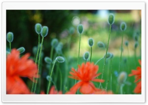 Poppies Flowers HD Wide Wallpaper for Widescreen