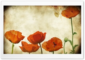 Poppies Flowers Vinatge HD Wide Wallpaper for Widescreen