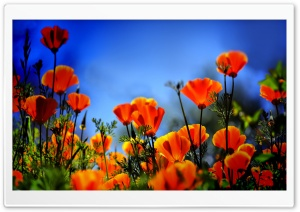 Poppies HDR HD Wide Wallpaper for Widescreen
