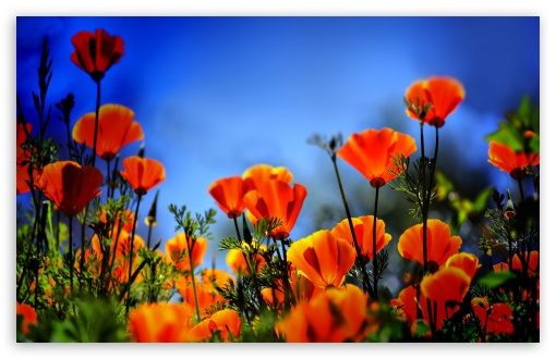 Poppies HDR HD wallpaper for Wide 16:10 5:3 Widescreen WHXGA WQXGA WUXGA WXGA WGA ; HD 16:9 High Definition WQHD QWXGA 1080p 900p 720p QHD nHD ; Standard 4:3 5:4 3:2 Fullscreen UXGA XGA SVGA QSXGA SXGA DVGA HVGA HQVGA devices ( Apple PowerBook G4 iPhone 4 3G 3GS iPod Touch ) ; Tablet 1:1 ; iPad 1/2/Mini ; Mobile 4:3 5:3 3:2 16:9 5:4 - UXGA XGA SVGA WGA DVGA HVGA HQVGA devices ( Apple PowerBook G4 iPhone 4 3G 3GS iPod Touch ) WQHD QWXGA 1080p 900p 720p QHD nHD QSXGA SXGA ; Dual 16:10 5:3 16:9 4:3 5:4 WHXGA WQXGA WUXGA WXGA WGA WQHD QWXGA 1080p 900p 720p QHD nHD UXGA XGA SVGA QSXGA SXGA ;