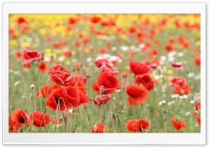 Poppies In Nature HD Wide Wallpaper for Widescreen