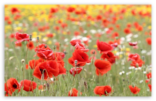 Poppies In Nature HD wallpaper for Wide 16:10 5:3 Widescreen WHXGA WQXGA WUXGA WXGA WGA ; HD 16:9 High Definition WQHD QWXGA 1080p 900p 720p QHD nHD ; Standard 4:3 5:4 3:2 Fullscreen UXGA XGA SVGA QSXGA SXGA DVGA HVGA HQVGA devices ( Apple PowerBook G4 iPhone 4 3G 3GS iPod Touch ) ; Tablet 1:1 ; iPad 1/2/Mini ; Mobile 4:3 5:3 3:2 16:9 5:4 - UXGA XGA SVGA WGA DVGA HVGA HQVGA devices ( Apple PowerBook G4 iPhone 4 3G 3GS iPod Touch ) WQHD QWXGA 1080p 900p 720p QHD nHD QSXGA SXGA ; Dual 16:10 5:3 16:9 4:3 5:4 WHXGA WQXGA WUXGA WXGA WGA WQHD QWXGA 1080p 900p 720p QHD nHD UXGA XGA SVGA QSXGA SXGA ;