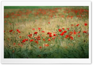 Poppies In The Field HD Wide Wallpaper for 4K UHD Widescreen desktop & smartphone