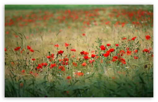 Poppies In The Field HD wallpaper for Wide 16:10 5:3 Widescreen WHXGA WQXGA WUXGA WXGA WGA ; HD 16:9 High Definition WQHD QWXGA 1080p 900p 720p QHD nHD ; Standard 4:3 5:4 3:2 Fullscreen UXGA XGA SVGA QSXGA SXGA DVGA HVGA HQVGA devices ( Apple PowerBook G4 iPhone 4 3G 3GS iPod Touch ) ; Tablet 1:1 ; iPad 1/2/Mini ; Mobile 4:3 5:3 3:2 16:9 5:4 - UXGA XGA SVGA WGA DVGA HVGA HQVGA devices ( Apple PowerBook G4 iPhone 4 3G 3GS iPod Touch ) WQHD QWXGA 1080p 900p 720p QHD nHD QSXGA SXGA ; Dual 16:10 5:3 16:9 4:3 5:4 WHXGA WQXGA WUXGA WXGA WGA WQHD QWXGA 1080p 900p 720p QHD nHD UXGA XGA SVGA QSXGA SXGA ;