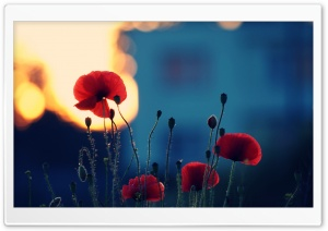 Poppies In The Sunset HD Wide Wallpaper for Widescreen