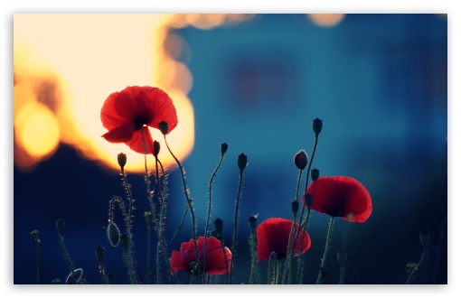 Poppies In The Sunset ❤ 4K UHD Wallpaper for Wide 16:10 5:3 Widescreen WHXGA WQXGA WUXGA WXGA WGA ; 4K UHD 16:9 Ultra High Definition 2160p 1440p 1080p 900p 720p ; Standard 4:3 5:4 3:2 Fullscreen UXGA XGA SVGA QSXGA SXGA DVGA HVGA HQVGA ( Apple PowerBook G4 iPhone 4 3G 3GS iPod Touch ) ; Tablet 1:1 ; iPad 1/2/Mini ; Mobile 4:3 5:3 3:2 16:9 5:4 - UXGA XGA SVGA WGA DVGA HVGA HQVGA ( Apple PowerBook G4 iPhone 4 3G 3GS iPod Touch ) 2160p 1440p 1080p 900p 720p QSXGA SXGA ;