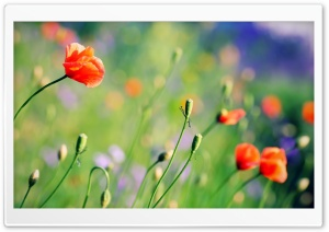 Poppies Meadow HD Wide Wallpaper for Widescreen