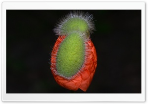 Poppy HD Wide Wallpaper for Widescreen