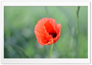 Poppy HD Wide Wallpaper for 4K UHD Widescreen desktop & smartphone