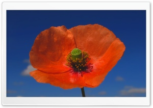 Poppy Against Blue Sky HD Wide Wallpaper for Widescreen