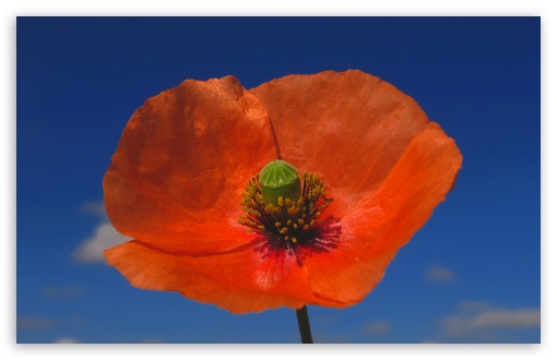 Poppy Against Blue Sky HD wallpaper for Wide 16:10 5:3 Widescreen WHXGA WQXGA WUXGA WXGA WGA ; HD 16:9 High Definition WQHD QWXGA 1080p 900p 720p QHD nHD ; Standard 4:3 5:4 3:2 Fullscreen UXGA XGA SVGA QSXGA SXGA DVGA HVGA HQVGA devices ( Apple PowerBook G4 iPhone 4 3G 3GS iPod Touch ) ; Tablet 1:1 ; iPad 1/2/Mini ; Mobile 4:3 5:3 3:2 16:9 5:4 - UXGA XGA SVGA WGA DVGA HVGA HQVGA devices ( Apple PowerBook G4 iPhone 4 3G 3GS iPod Touch ) WQHD QWXGA 1080p 900p 720p QHD nHD QSXGA SXGA ;