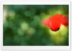 Poppy Bokeh Ultra HD Wallpaper for 4K UHD Widescreen desktop, tablet & smartphone