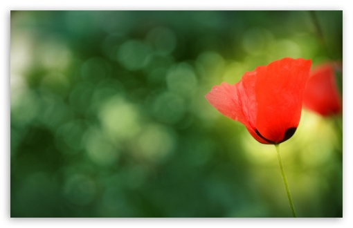 Poppy Bokeh ❤ 4K UHD Wallpaper for Wide 16:10 5:3 Widescreen WHXGA WQXGA WUXGA WXGA WGA ; 4K UHD 16:9 Ultra High Definition 2160p 1440p 1080p 900p 720p ; Standard 4:3 5:4 3:2 Fullscreen UXGA XGA SVGA QSXGA SXGA DVGA HVGA HQVGA ( Apple PowerBook G4 iPhone 4 3G 3GS iPod Touch ) ; Tablet 1:1 ; iPad 1/2/Mini ; Mobile 4:3 5:3 3:2 16:9 5:4 - UXGA XGA SVGA WGA DVGA HVGA HQVGA ( Apple PowerBook G4 iPhone 4 3G 3GS iPod Touch ) 2160p 1440p 1080p 900p 720p QSXGA SXGA ; Dual 5:4 QSXGA SXGA ;