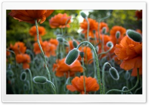 Poppy Bud HD Wide Wallpaper for Widescreen