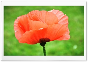 Poppy Close Up HD Wide Wallpaper for Widescreen
