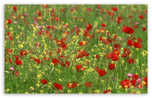 Poppy Field 1 ❤ 4K UHD Wallpaper for Wide 16:10 5:3 Widescreen WHXGA WQXGA WUXGA WXGA WGA ; 4K UHD 16:9 Ultra High Definition 2160p 1440p 1080p 900p 720p ; Standard 4:3 5:4 3:2 Fullscreen UXGA XGA SVGA QSXGA SXGA DVGA HVGA HQVGA ( Apple PowerBook G4 iPhone 4 3G 3GS iPod Touch ) ; Tablet 1:1 ; iPad 1/2/Mini ; Mobile 4:3 5:3 3:2 16:9 5:4 - UXGA XGA SVGA WGA DVGA HVGA HQVGA ( Apple PowerBook G4 iPhone 4 3G 3GS iPod Touch ) 2160p 1440p 1080p 900p 720p QSXGA SXGA ; Dual 16:10 5:3 16:9 4:3 5:4 WHXGA WQXGA WUXGA WXGA WGA 2160p 1440p 1080p 900p 720p UXGA XGA SVGA QSXGA SXGA ;