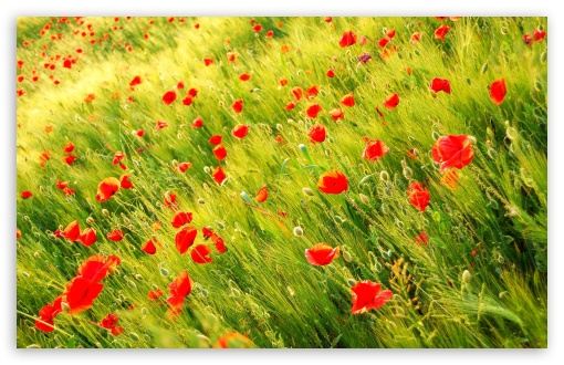 Poppy Field ❤ 4K UHD Wallpaper for Wide 16:10 5:3 Widescreen WHXGA WQXGA WUXGA WXGA WGA ; 4K UHD 16:9 Ultra High Definition 2160p 1440p 1080p 900p 720p ; UHD 16:9 2160p 1440p 1080p 900p 720p ; Standard 4:3 5:4 3:2 Fullscreen UXGA XGA SVGA QSXGA SXGA DVGA HVGA HQVGA ( Apple PowerBook G4 iPhone 4 3G 3GS iPod Touch ) ; Tablet 1:1 ; iPad 1/2/Mini ; Mobile 4:3 5:3 3:2 16:9 5:4 - UXGA XGA SVGA WGA DVGA HVGA HQVGA ( Apple PowerBook G4 iPhone 4 3G 3GS iPod Touch ) 2160p 1440p 1080p 900p 720p QSXGA SXGA ; Dual 16:10 5:3 16:9 4:3 5:4 WHXGA WQXGA WUXGA WXGA WGA 2160p 1440p 1080p 900p 720p UXGA XGA SVGA QSXGA SXGA ;