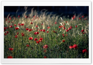 Poppy Field Spain HD Wide Wallpaper for 4K UHD Widescreen desktop & smartphone