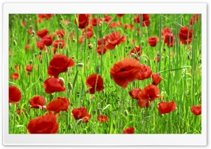 Poppy Field Spring HD Wide Wallpaper for Widescreen
