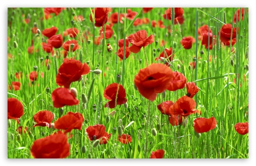 Poppy Field Spring HD wallpaper for Wide 16:10 5:3 Widescreen WHXGA WQXGA WUXGA WXGA WGA ; HD 16:9 High Definition WQHD QWXGA 1080p 900p 720p QHD nHD ; Standard 4:3 5:4 3:2 Fullscreen UXGA XGA SVGA QSXGA SXGA DVGA HVGA HQVGA devices ( Apple PowerBook G4 iPhone 4 3G 3GS iPod Touch ) ; Tablet 1:1 ; iPad 1/2/Mini ; Mobile 4:3 5:3 3:2 16:9 5:4 - UXGA XGA SVGA WGA DVGA HVGA HQVGA devices ( Apple PowerBook G4 iPhone 4 3G 3GS iPod Touch ) WQHD QWXGA 1080p 900p 720p QHD nHD QSXGA SXGA ; Dual 16:10 5:3 16:9 4:3 5:4 WHXGA WQXGA WUXGA WXGA WGA WQHD QWXGA 1080p 900p 720p QHD nHD UXGA XGA SVGA QSXGA SXGA ;