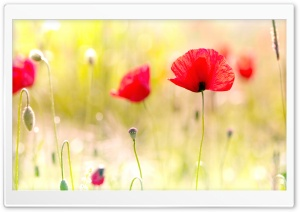 Poppy Flower HD Wide Wallpaper for Widescreen