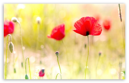 Poppy Flower HD wallpaper for Wide 16:10 5:3 Widescreen WHXGA WQXGA WUXGA WXGA WGA ; HD 16:9 High Definition WQHD QWXGA 1080p 900p 720p QHD nHD ; Standard 4:3 5:4 3:2 Fullscreen UXGA XGA SVGA QSXGA SXGA DVGA HVGA HQVGA devices ( Apple PowerBook G4 iPhone 4 3G 3GS iPod Touch ) ; Tablet 1:1 ; iPad 1/2/Mini ; Mobile 4:3 5:3 3:2 16:9 5:4 - UXGA XGA SVGA WGA DVGA HVGA HQVGA devices ( Apple PowerBook G4 iPhone 4 3G 3GS iPod Touch ) WQHD QWXGA 1080p 900p 720p QHD nHD QSXGA SXGA ;